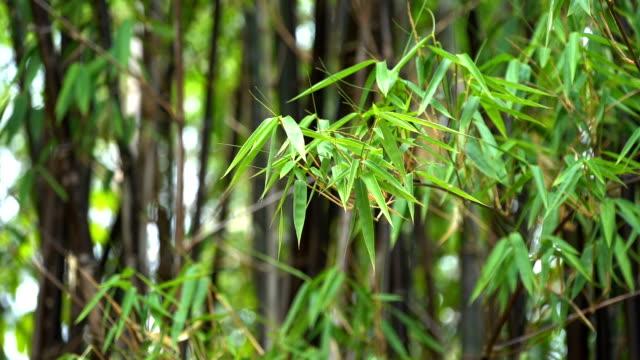 黒竹の葉。 - 笹点の映像素材/bロール