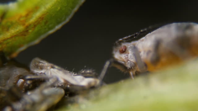 Black bean aphid (Aphis fabae) is a member of the order Hemiptera.  Aphid under a microscope, are dangerous pests. Extreme sharp and detailed video of black aphids on leaf Black bean aphid (Aphis fabae) is a member of the order Hemiptera.  Aphid under a microscope, are dangerous pests. Extreme sharp and detailed video of black aphids on leaf flea insect stock videos & royalty-free footage