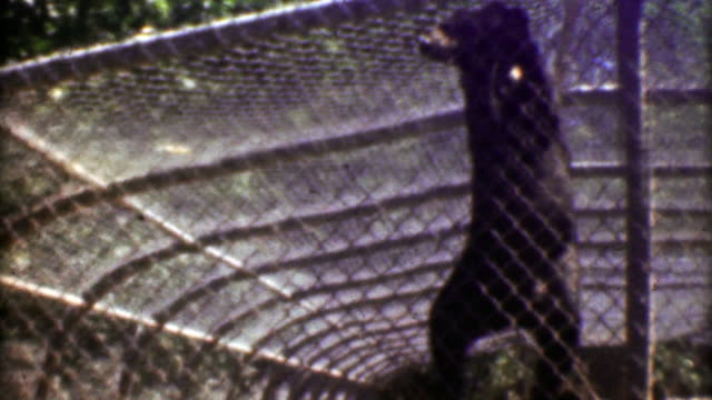 1957: Black bear climbing chain linked fence at inhumane old zoo. video