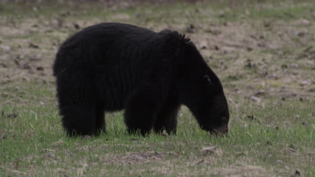 Black bear eating grass in Canada