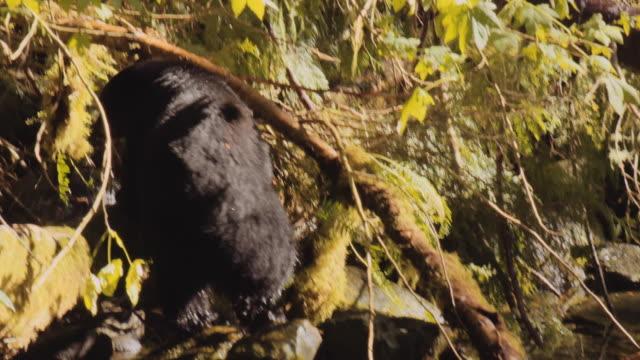 ağaçlar arasında siyah ayı yem - etçiller stok videoları ve detay görüntü çekimi