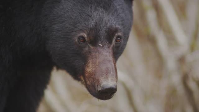 Black bear looking towards the camera