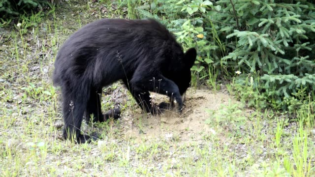 Video Black Bear