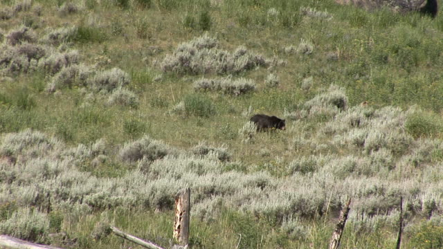 Black bear video