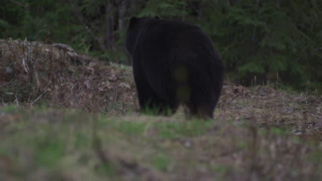 Black bear walking in the Canadian woods