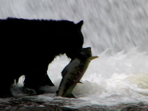 black bear with salmon - bear stock videos and b-roll footage