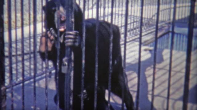 1973: Black Bears wrestling looking like humans in bear suits. video