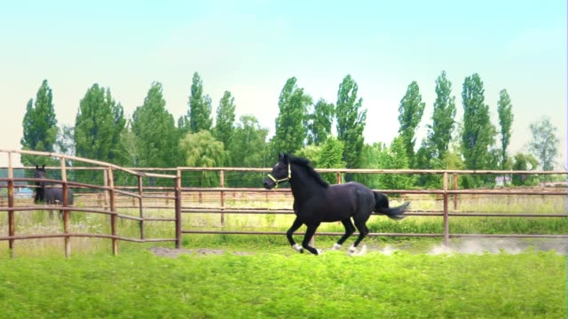 black beautiful horse galloping on the green grass in the paddock - cavallo purosangue video stock e b–roll