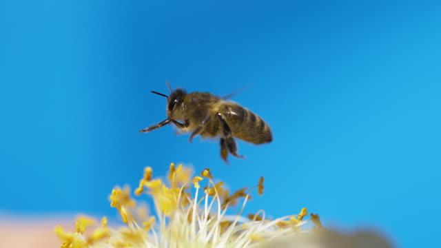 black bee in flight, normandy, - pszczoła filmów i materiałów b-roll