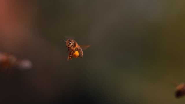black bee in flight, return to the hive with balls loaded with pollen, - apicoltura video stock e b–roll