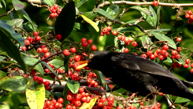 vídeos de stock e filmes b-roll de black bird eating red berries - baga