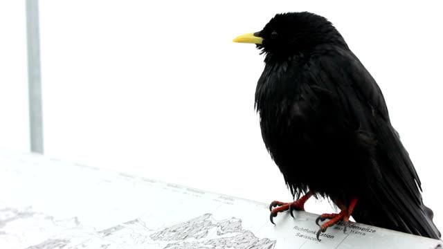 Black bird video
