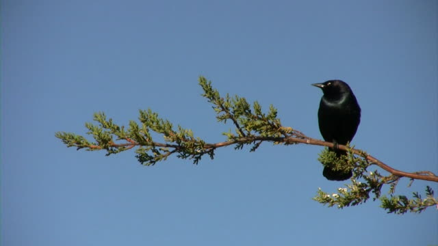 Black Bird Waits V.2 (HD) A blackbird is perched on a pine branch. (1080i source) 笹 stock videos & royalty-free footage