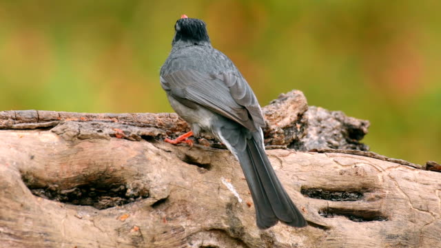 black bulbul (Hypsipetes leucocephalus) feeding on a tree branch