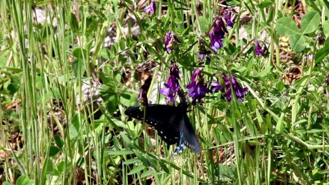 schwarze schmetterling auf lila blüte kam lupine - lupine stock-videos und b-roll-filmmaterial