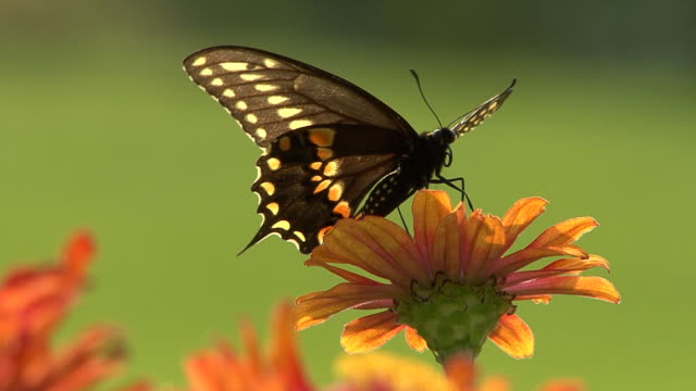 Black butterfly perching on a flower video