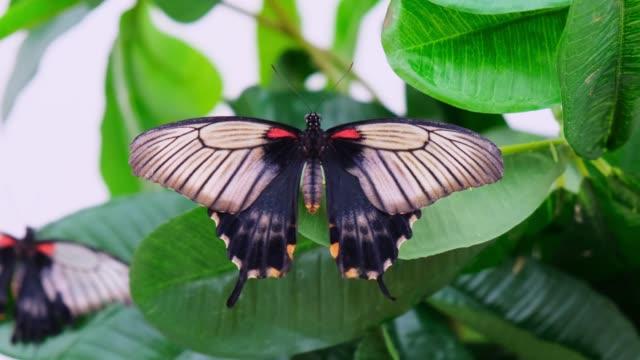 black butterfly smeared wings on a background with green foliage, close-up. copy space - skrzydło zwierzęcia filmów i materiałów b-roll