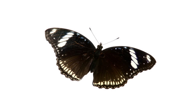 Schwarze Schmetterling. – Video