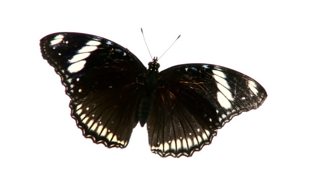 black butterfly. - butterfly stock videos and b-roll footage