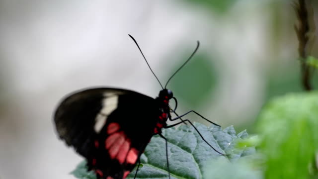 A black butterfly with red spots and long horn video
