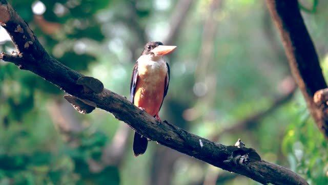 Black capped kingfisher. video