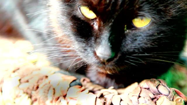 black cat close-up video