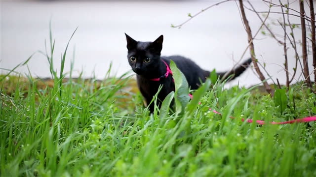 black cat in green grass black cat in green grass leash stock videos & royalty-free footage