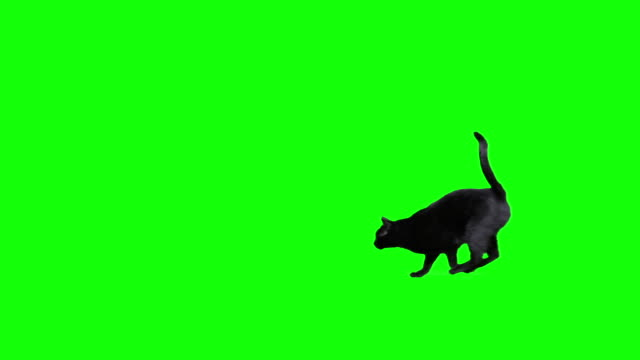 Black cat jumping against green screen