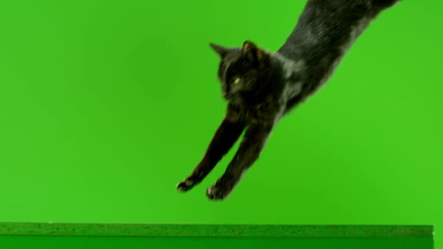 Black Cat jumping on green screen. Shot on RED EPIC DRAGON Cinema Camera in Slow Motion. Black Cat jumping on green screen. Shot on RED EPIC DRAGON Cinema Camera in Slow Motion. mammal stock videos & royalty-free footage