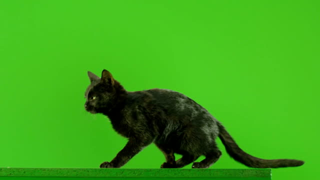 Black Cat jumping on green screen. Shot on RED EPIC DRAGON Cinema Camera in Slow Motion. video