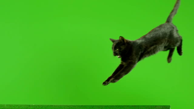 black cat jumping on green screen. shot on red epic dragon cinema camera in slow motion. - kot filmów i materiałów b-roll
