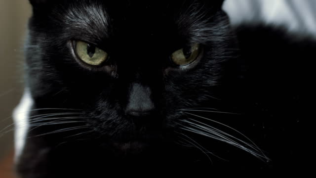 Black cat looking at camera video