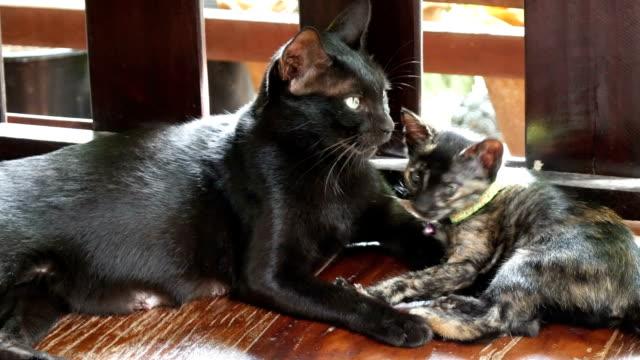 vídeos y material grabado en eventos de stock de negro gato de mentira - vibrisas