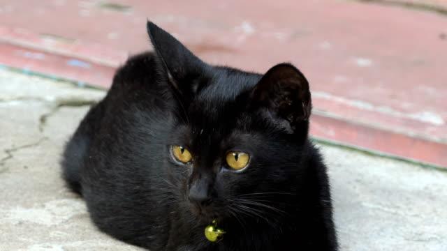 vídeos y material grabado en eventos de stock de negro cat - peludo