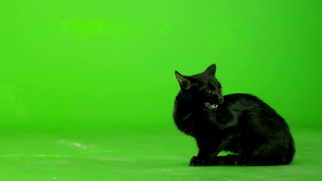 vídeos y material grabado en eventos de stock de gato negro en pantalla verde. cámara lenta. - cat