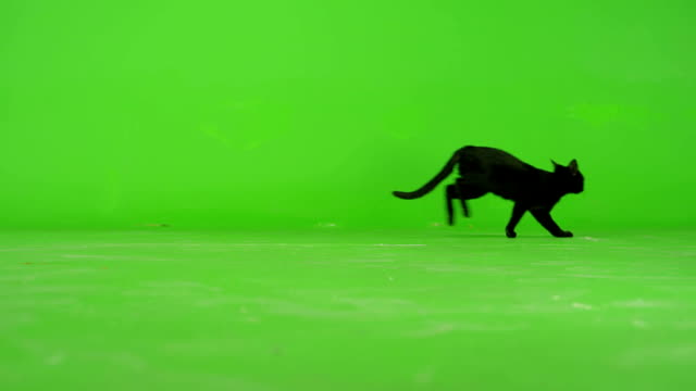 black cat walking on green screen . slow motion . - kot filmów i materiałów b-roll