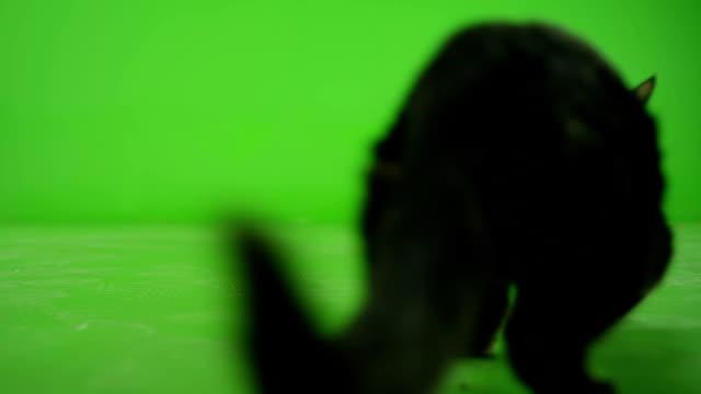 Schwarze Katze, die zu Fuß auf Green-Screen. Slow-Motion. – Video