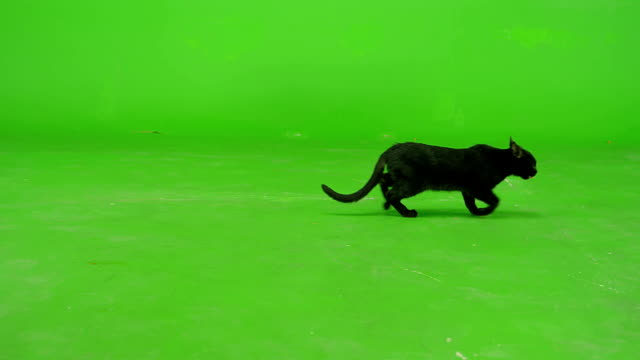Black Cat Walking On Green Screen . Slow Motion .