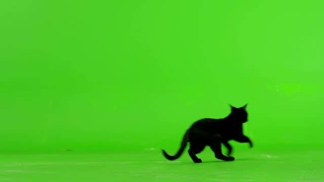 Black Cat Walking On Green Screen . Slow Motion . video