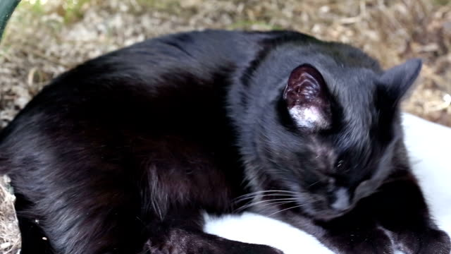 Black cat washes itself video