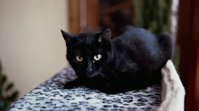 Black cat with lying on bed. Close up view of cute kitten enjoying time video