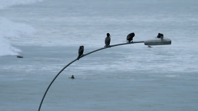 Black Cormorant Birds Sitting on Street Light in Lima with Surfers on Background video