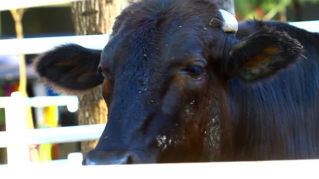 black cow video