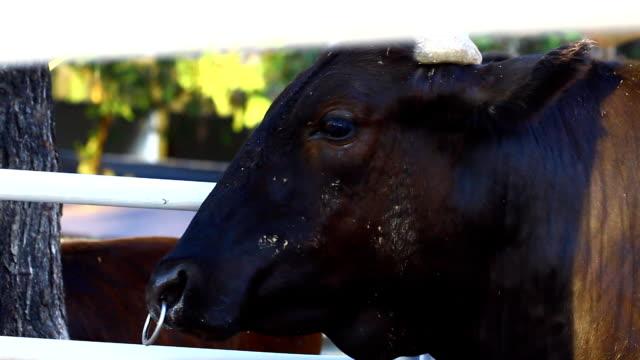 vídeos de stock e filmes b-roll de preto vaca - beef angus