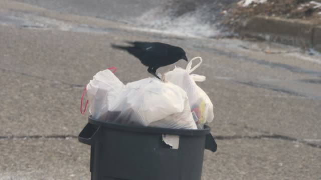 Black Crow Picks at Garbage Bags in Can A black crow pecks at garbage bags in a can outside of a home in a residential neighborhood. scavenging stock videos & royalty-free footage