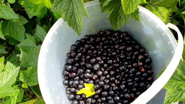 Black currant harvesting. Female hand pouring a handful of berries into bucket. Top view Black currant harvesting. Female hand pouring a handful of berries into bucket. Top view handful stock videos & royalty-free footage