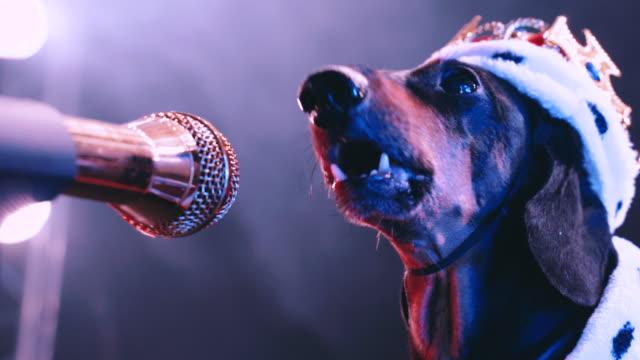 un bassotto di cane nero canta in contorno su un microfono di fronte a una stanza nebbiosa fumosa - animale video stock e b–roll