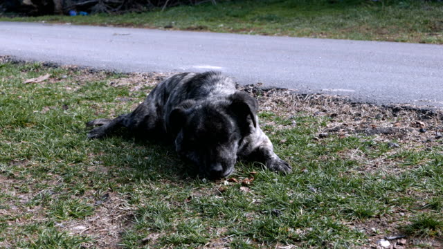 A black dog eating walnuts. A black dog eating walnuts. pine nut stock videos & royalty-free footage