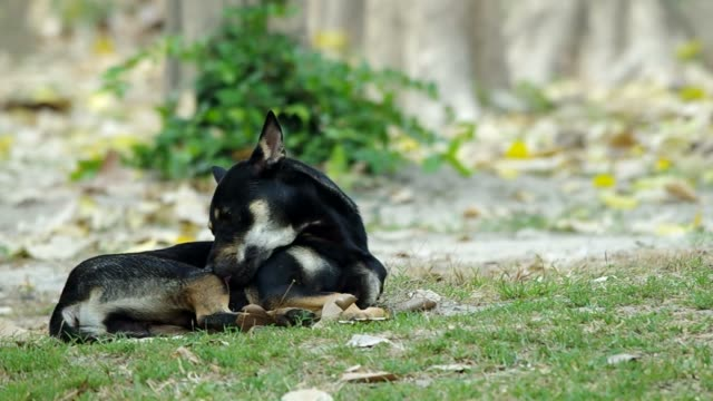 black dog licking itself video