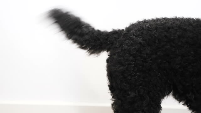 Black dog wags his tail, close up Funny little dog wags his tail, close up tail stock videos & royalty-free footage